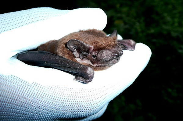 UK Woodland Bat – Noctule